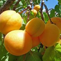 Бурая пятнистость листьев абрикоса