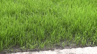 Наши газоны. Как сделать газон. Часть 1-ая.