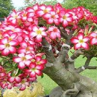 Непрерывное цветение Адениума