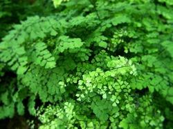 Воздушные листья Адиантума