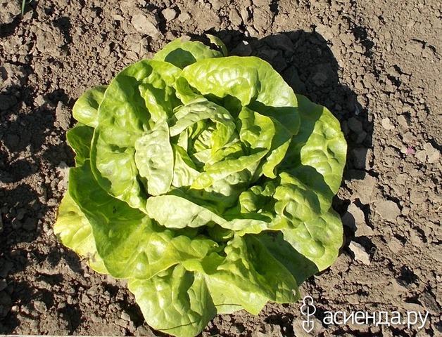 Выращивание прянных салатов фото