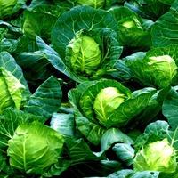 Сухая гниль капустных культур
