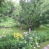 Плодовые деревья нашей дачи.