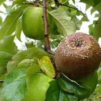 Фузариозная гниль плодов