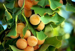 Гинкго – самое древнее дерево планеты