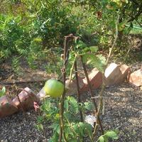 Как в анекдоте: огурцы растут, а помидоры не краснеют...