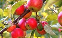 Сибирячки и Сибиряки, пожалуйста помогите с выбором сорта плодовых деревьев!