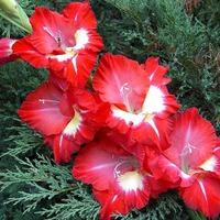 Выращиваем гладиолусы. Часть 1