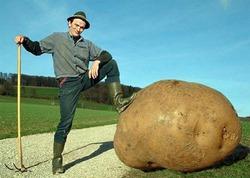 """Как сохранить картошечку от """"вредителей"""" двуногих."""
