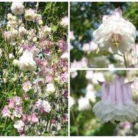 Цветочное разнообразие в моем саду. Июнь 2015