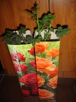 Что делать с саженцами роз?