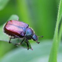 Способы борьбы с хлебным жуком