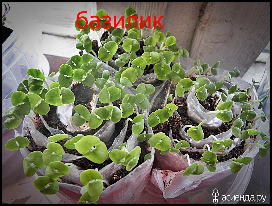Львиный зев фото и выращивание 728