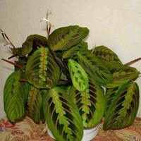 Яркие листья Маранты