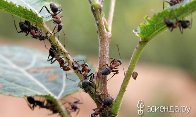 Борьба с муравьями на участке