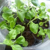 Рассадная эпопея с петуниями нуждается в ваших советах