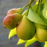 Как защититься от грушевой плодожорки