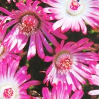 Цветы в драже