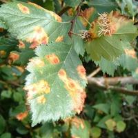 Как бороться с ржавчиной на растениях