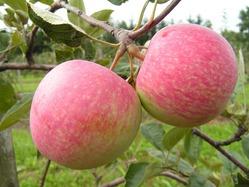 Парша яблонь - справимся и с ней