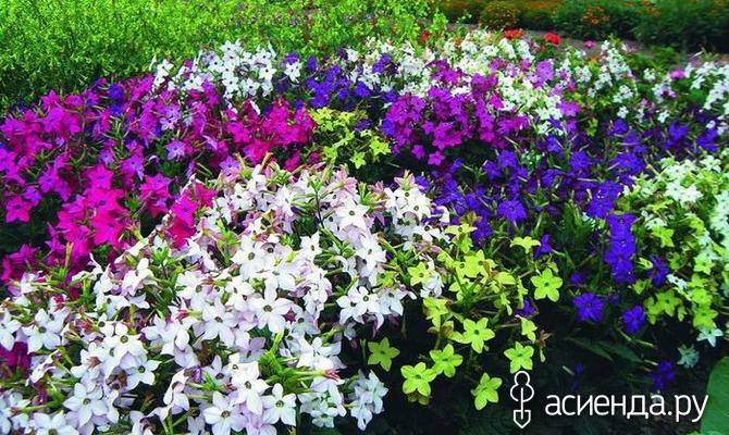 Ароматные цветки Табака