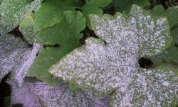 Избавляемся от мучнистой росы на растениях