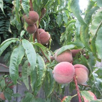 Вам от меня тазик персиков и еще бонус от сегодня