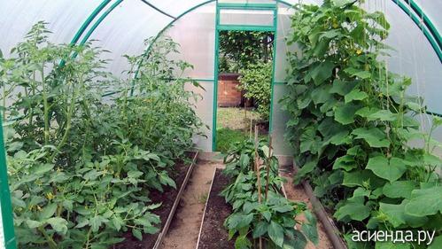 Как садить помидоры в теплице