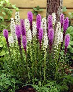 Как вырастить лиатрис в своем саду?