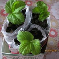 Клубника или садовая земляника?