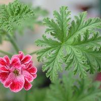Пеларгония душистая и крупноцветковая