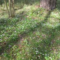 У нас цветут лесные фиалки