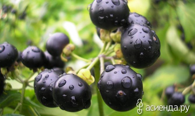 Санберри - солнечная ягода. Часть 1