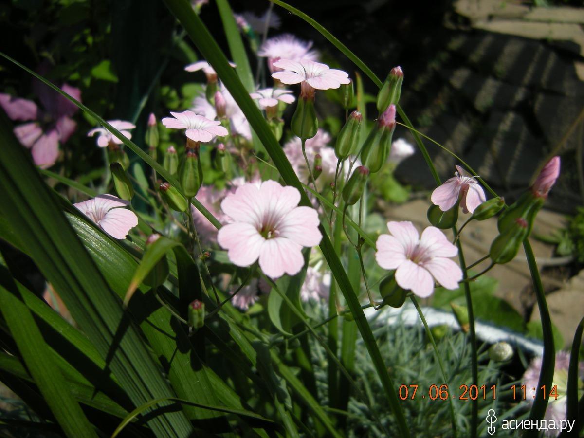 Гвоздика махровая цветы 2