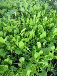 Выращивание в теплице ранней зелени и редиса. Мой опыт с видео