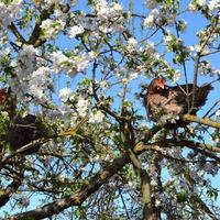 Яблони в цвету... и чудо на них