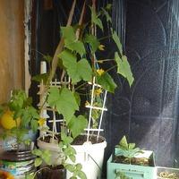Огород на балконе. Фотоотчёт.