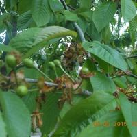 Урожай черешни очень скоро