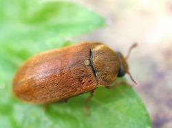 Принимаем меры против малинного жука
