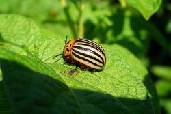 Живые спасатели от колорадского жука.