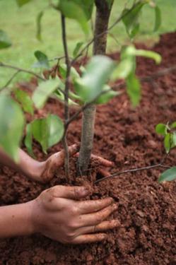Мифы о посадке деревьев