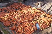 Девочки! Как вы сеете морковь?