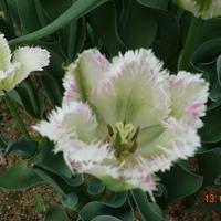Сорта белых тюльпанов