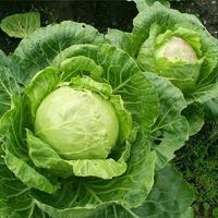 Барид зеленый - враг капусты