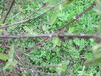 Наветочках жимолости лишайник, что делать?