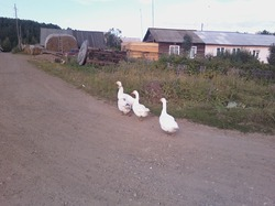 Наши пернатые помощники в огороде!