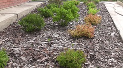 Озеленение декоративными кустарниками. Спиреи в мае. ВИДЕО.