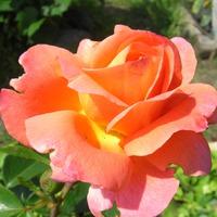 Размножаю розы