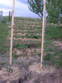 Эксперимент по ленивому выращиванию помидор начался
