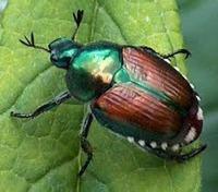 Проделки японского жука